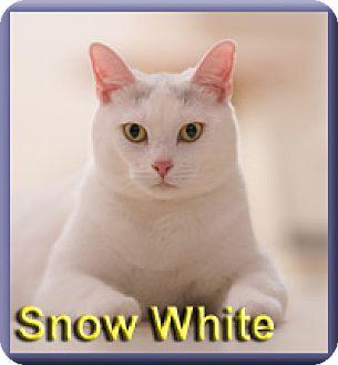 Domestic Shorthair Cat for adoption in Aldie, Virginia - Snow White