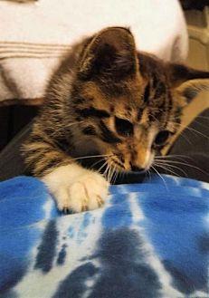 Domestic Mediumhair Kitten for adoption in Sacramento, California - *JESSIE