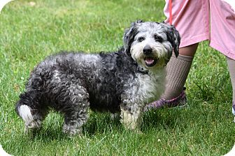 Terrier (Unknown Type, Medium)/Poodle (Miniature) Mix Dog for adoption in West Milford, New Jersey - SCRUFFIE-pending
