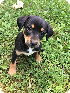 Shepherd (Unknown Type)/Rat Terrier Mix Puppy for adoption in Goodlettsville, Tennessee - Remi