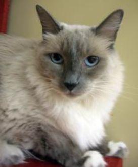 Birman/Domestic Shorthair Mix Cat for adoption in Chandler, Arizona - Dixie