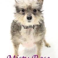 Adopt A Pet :: Misty Rose - Bradenton, FL