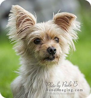 Maltese/Yorkie, Yorkshire Terrier Mix Dog for adoption in Courtice, Ontario - Goldie