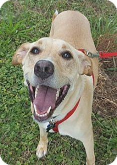 Labrador Retriever Dog for adoption in Bloomington, Illinois - Charley