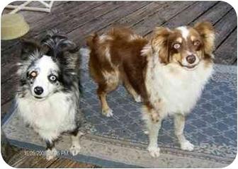 Australian Shepherd Dog for adoption in Orlando, Florida - Leggs-Mini