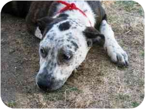 Cattle Dog/Catahoula Leopard Dog Mix Puppy for adoption in San Clemente, California - Molly