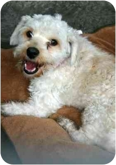 Terrier (Unknown Type, Small) Mix Dog for adoption in Los Angeles, California - TY