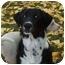 Photo 3 - Border Collie/Irish Setter Mix Dog for adoption in Emmett, Idaho - ZEKE