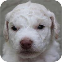 Bichon Frise Mix Puppy for adoption in La Costa, California - Casper