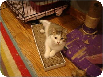Domestic Shorthair Cat for adoption in Muncie, Indiana - Sammy