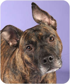 American Pit Bull Terrier Dog for adoption in Chicago, Illinois - Sweet Pea