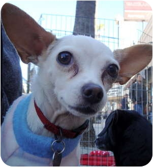 Chihuahua Mix Dog for adoption in North Hollywood, California - Gibby