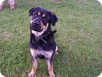 Rottweiler/Labrador Retriever Mix Dog for adoption in Chewelah, Washington - Moose