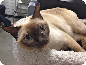 Tonkinese Cat for adoption in Foothill Ranch, California - Ming Toi