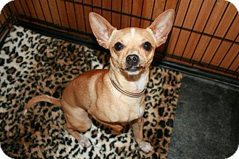 Chihuahua Mix Dog for adoption in San Antonio, Texas - Tanner