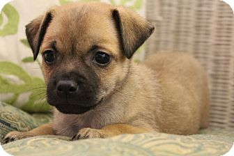 Pug/Chihuahua Mix Puppy for adoption in Wytheville, Virginia - Pomona