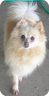 Pomeranian Dog for adoption in Prole, Iowa - China