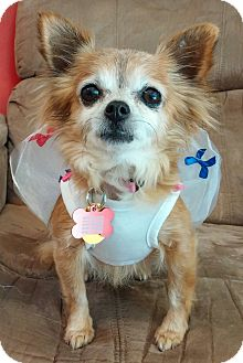 Chihuahua/Pomeranian Mix Dog for adoption in Sacramento, California - Nia