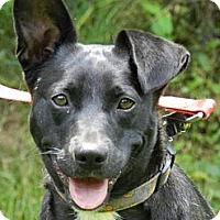 Labrador Retriever/Border Terrier Mix Puppy for adoption in Centerville, Tennessee - Socks