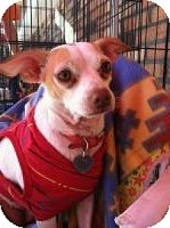 Terrier (Unknown Type, Small)/Chihuahua Mix Dog for adoption in North Hollywood, California - Bella