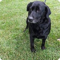Adopt A Pet :: Shi - Georgetown, KY