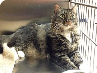 Maine Coon Cat for adoption in Worcester, Massachusetts - Toby