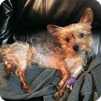 Yorkie, Yorkshire Terrier/Maltese Mix Puppy for adoption in Fairfax, Virginia - Muschu