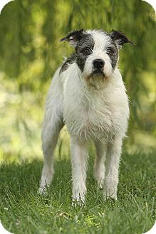 Terrier (Unknown Type, Medium)/English Sheepdog Mix Dog for adoption in Knoxville, Tennessee - Sherman