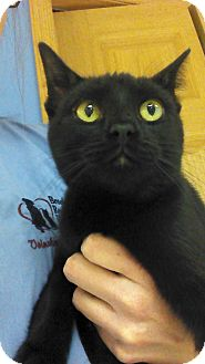 Domestic Shorthair Cat for adoption in Brookings, South Dakota - Lucie