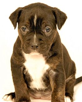 Boxer Mix Puppy for adoption in Newland, North Carolina - Playdough