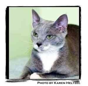 Domestic Shorthair Cat for adoption in Warren, Pennsylvania - Rosita