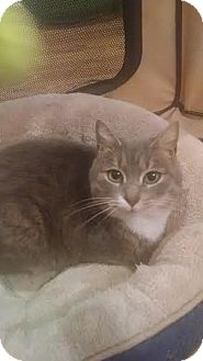 Domestic Shorthair Kitten for adoption in Concord, North Carolina - Roxie