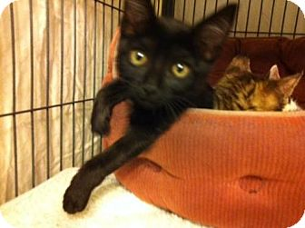 Domestic Shorthair Kitten for adoption in Tallahassee, Florida - Wendy