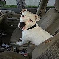 Adopt A Pet :: American Bulldog in Need - Beverly Hills, CA