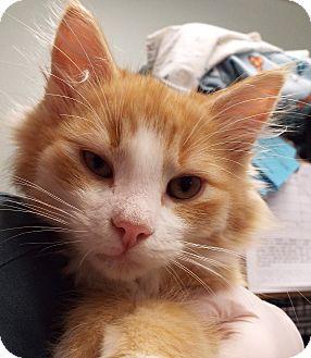 Domestic Longhair Kitten for adoption in Grants Pass, Oregon - Reggie