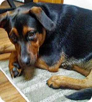 Rottweiler Mix Dog for adoption in Ogden, Utah - Tiny