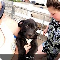 Labrador Retriever Mix Puppy for adoption in Chico, California - Archie