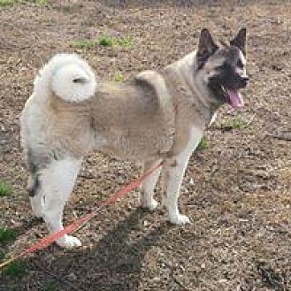 Akita Mix Dog for adoption in Virginia Beach, Virginia - Ava