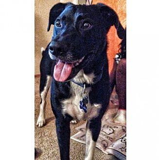 Border Collie/Labrador Retriever Mix Dog for adoption in Dunwoody, Georgia - Zeke