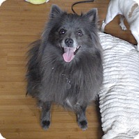 Adopt A Pet :: Shadow - Quail Valley, CA