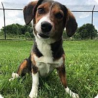 Adopt A Pet :: LINDSEY - Andover, CT