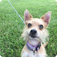 Cairn Terrier/Yorkie, Yorkshire Terrier Mix Dog for adoption in Mechanicsburg, Pennsylvania - Fox
