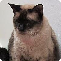 Siamese Cat for adoption in Cary, North Carolina - Jackson