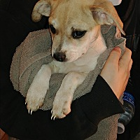 Chihuahua/Schnauzer (Miniature) Mix Puppy for adoption in Lancaster, Kentucky - Emu