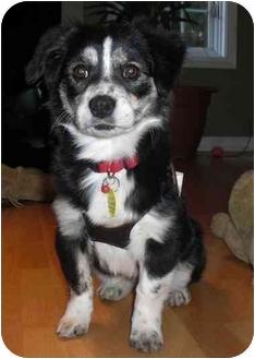 Pekingese Mix Puppy for adoption in Calgary, Alberta - Heidi