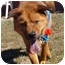 Photo 3 - Chow Chow/Shepherd (Unknown Type) Mix Dog for adoption in Huntington, New York - Collin