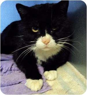 Domestic Shorthair Cat for adoption in West Warwick, Rhode Island - Nigel