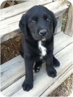 Labrador Retriever Mix Puppy for adoption in Haughton, Louisiana - Lab puppy