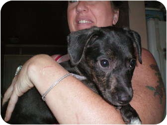 Labrador Retriever Mix Puppy for adoption in Hainesville, Illinois - Miracle