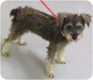 Schnauzer (Standard) Mix Dog for adoption in Edinburg, Texas - SCOOTER